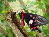 Papilionidae鳳蝶科:紅紋鳳蝶P2210103.JPG