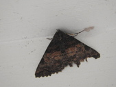 臺灣的蛾 moths of Taiwan:DSCN6776.JPG