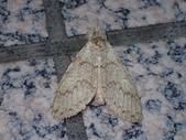 臺灣的蛾 moths of Taiwan:PA260041.JPG