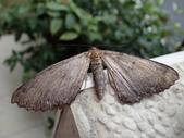 臺灣的蛾 moths of Taiwan:PC130174.JPG