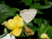 Lycaenidae灰蝶科:PB010029小白波紋小灰蝶.JPG