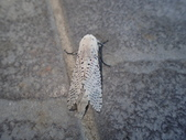 臺灣的蛾 moths of Taiwan:咖啡蠹蛾(蠹蛾科)P2230055.JPG