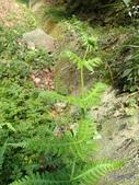 2018-2-16年初一尖石水田林道蕨類:光囊紫柄蕨(金星蕨科)P2160132.jpg