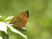 Nymphalidae蛺蝶科:枯葉蝶DSCN3209.JPG