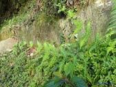 2018-2-16年初一尖石水田林道蕨類:光囊紫柄蕨(金星蕨科)P2160139.jpg