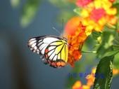 Pieridae粉蝶科:白豔粉蝶/紅紋粉蝶&馬纓丹