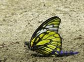 Pieridae粉蝶科:鋸粉蝶/斑粉蝶吸水