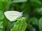 Pieridae粉蝶科:紋白蝶S 061.jpg