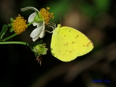 Pieridae粉蝶科:黃蝶/荷氏黃蝶L 181.jpg