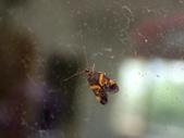 臺灣的蛾 moths of Taiwan:P5260101 .JPG