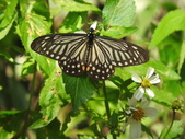 Papilionidae鳳蝶科:黃星斑鳳蝶DSCN3175.JPG