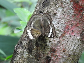 Nymphalidae蛺蝶科:DSCN1114甲仙綠蛺蝶(雌).JPG