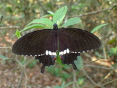 Papilionidae鳳蝶科:玉帶鳳蝶P4050012.JPG
