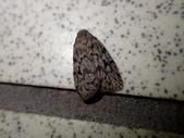 臺灣的蛾 moths of Taiwan:P1270072.JPG