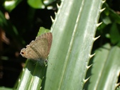Lycaenidae灰蝶科:PA010348奇波灰蝶.JPG
