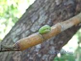 蝶蛹:蘭灰蝶/雙尾琉璃小灰蝶蛹