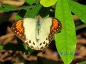 Pieridae粉蝶科:端紅蝶(雌)