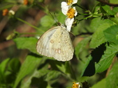 Pieridae粉蝶科:雌白黃蝶(雌)DSCN6113.JPG