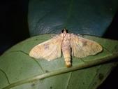 臺灣的蛾 moths of Taiwan:Pachynoa sabelialisP9300022.jpg