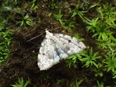 臺灣的蛾 moths of Taiwan:P2150158.JPG