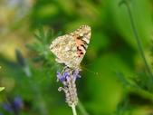 Nymphalidae蛺蝶科:姬紅蛺蝶DSCN9793.JPG