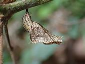 蝶蛹:P2110061琉球三線蝶蛹.JPG