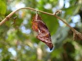 蝶蛹:P2130088琉璃蛺蝶蛹.JPG