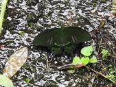 Papilionidae鳳蝶科:琉璃紋鳳蝶(雄)DSCN0363.JPG