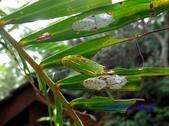蝶蛹:紫蛇目蝶蛹