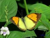 Pieridae粉蝶科:異粉蝶/雌白黃蝶(雄)