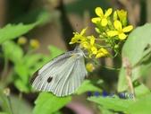 Pieridae粉蝶科:緣點白粉蝶/臺灣紋白蝶