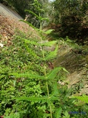 2018-2-16年初一尖石水田林道蕨類:光囊紫柄蕨(金星蕨科)P2160127.jpg