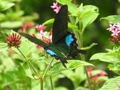 Papilionidae鳳蝶科:琉璃翠鳳蝶/大琉璃紋鳳蝶Papilio paris nakaharai