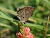 Lycaenidae灰蝶科:P8010256東方晶灰蝶.JPG