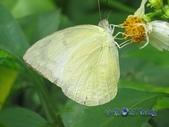 Pieridae粉蝶科:遷粉蝶/淡黃蝶(淡斑型)雌&三角蟹蛛