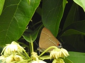 Lycaenidae灰蝶科:平山小灰蝶DSCN5092
