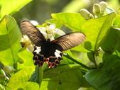 Papilionidae鳳蝶科:台灣鳳蝶(雌)DSCN3057.JPG