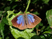 Lycaenidae灰蝶科:P2010124紫小灰蝶.JPG