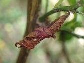 蝶蛹:黃三線蝶蛹P3300115.JPG