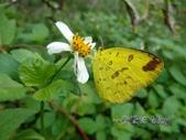 Pieridae粉蝶科:荷氏黃蝶/黃蝶