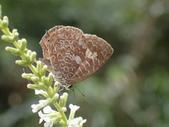 Lycaenidae灰蝶科:朝倉小灰蝶&揚波P2230010.JPG
