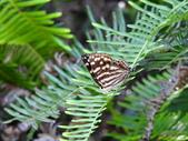 Lycaenidae灰蝶科:DSCN9915台灣小灰蛺蝶.JPG