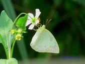 Pieridae粉蝶科:遷粉蝶/淡黃蝶(淡斑型)雌