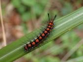 蛾幼蟲、繭、蛹:P1180396五斑蝶燈蛾.JPG