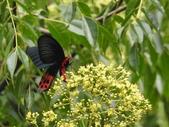 Papilionidae鳳蝶科:曙鳳蝶DSCN6247.JPG