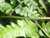 2018-2-16年初一尖石水田林道蕨類:疏葉雙蓋蕨P2160283.jpg