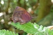 Lycaenidae灰蝶科:凹翅紫小灰蝶P6300206.JPG