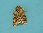 臺灣的蛾 moths of Taiwan:DSCN0390.JPG