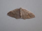 臺灣的蛾 moths of Taiwan:P2150059.JPG