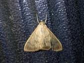 臺灣的蛾 moths of Taiwan:P9300065-1.jpg